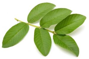 This is How You Can Use the Guava Leaves for Your Hair Growth!